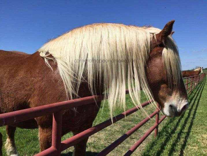 blond-belgian-horse